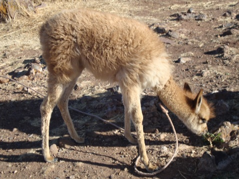 Llamas, alpacas, vicunas (pictured), and guanacos are the four camelids native in Peru. The first two are domesticated, the second two are wild. Vicunas (such as the one pictured) are very soft and are the national animal of Peru.