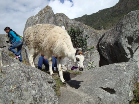 This is mid-charge. Can you see the woman bolting behind this llama?