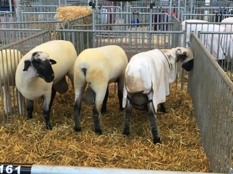 Sheep Balls